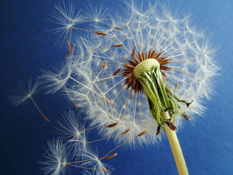 "The dandelion uses ""..."