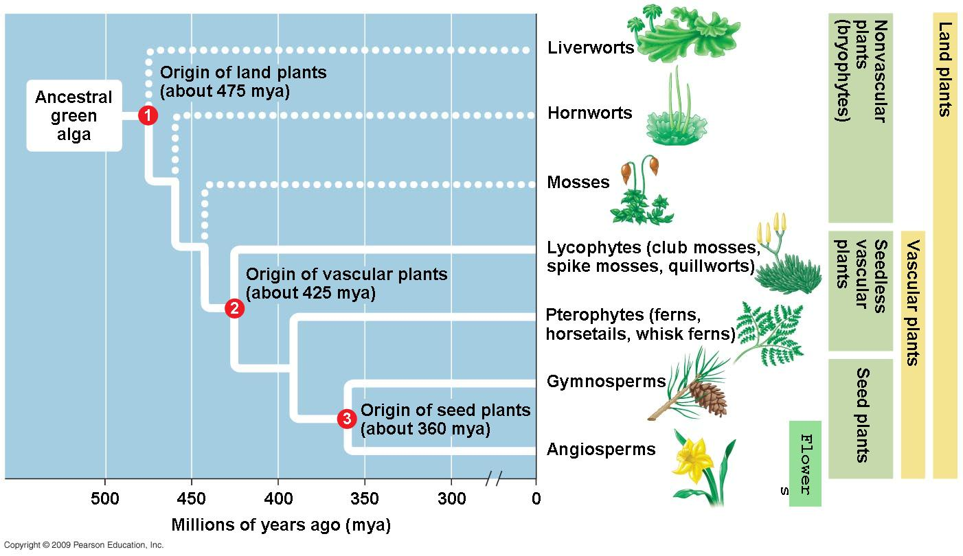 Evolution in plants