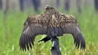 The white-rumped vulture, the top vulture of the Indian subcontinent is thought to only have viable populations in left in Cambodia and Burma where diclofenac is not used.
