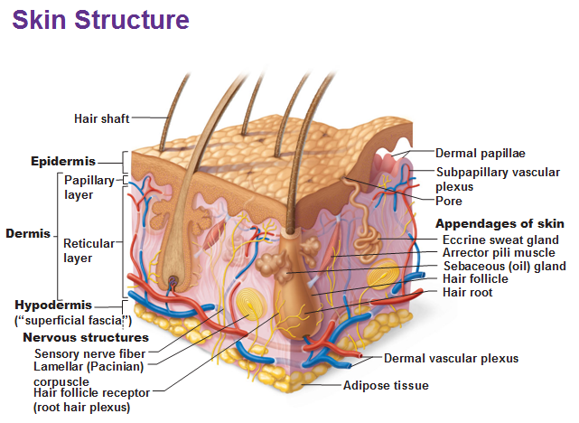integumentary system part 1, Human Body