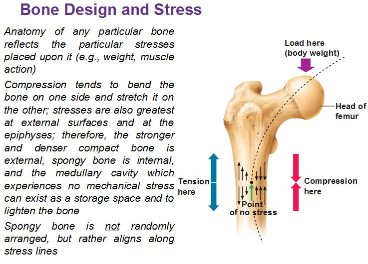 Gross anatomy of bones