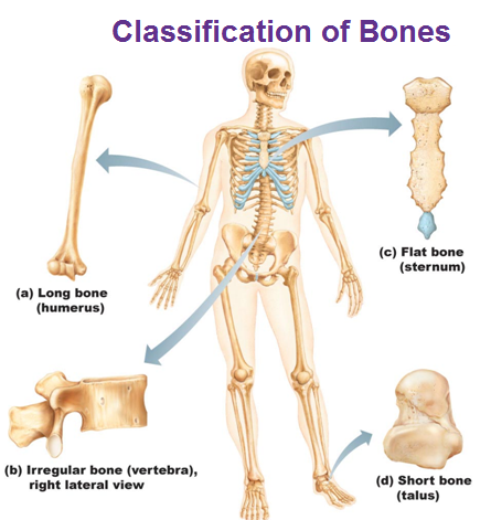 1 Bone Classification And Structure Ehs Anatomy Physiology A