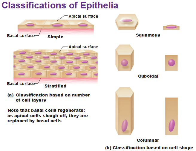 epithelial tissue classification Epithelial tissue, or epithelium, has the following general characteristics.