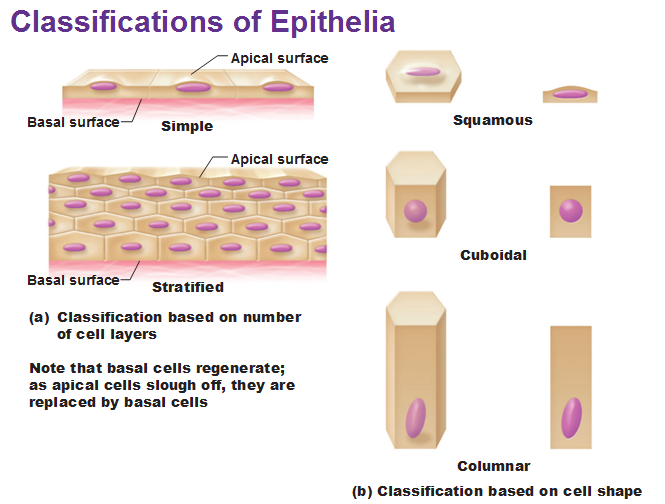 properties of epithelial tissue Part a which of the following epithelial tissue types is not  anatomy histology - part a which of  of the following is a property of epithelial tissue.