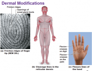 summarize the formation of friction ridge skin essay Summarize the formation of friction ridge skin and how it relates to the permanence of fingerprints the skin over most of our bodies is fairly smooth 'friction ridges', however, are.