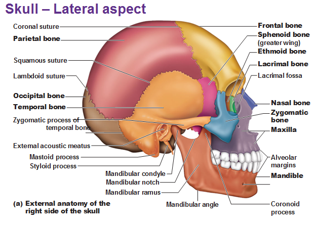geography of the skull, Human Body