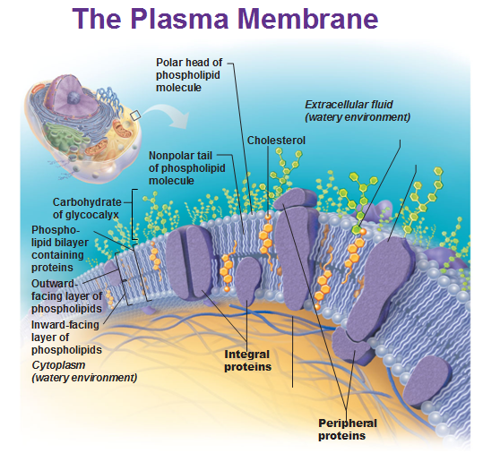 Build A Membrane : The building blocks of cells