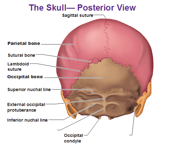 the parietal bone is actually 2 separate bones that got fused together    Occipital Bone Unlabeled
