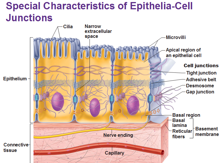 epithelial tissue functions and locations