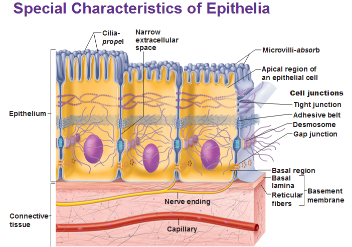 Basics of Epithelial Tissue