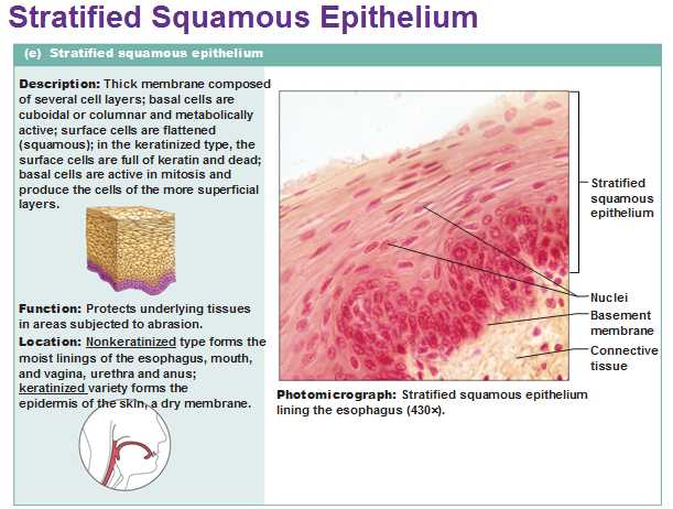 Image result for stratified squamous epithelium labeled diagram