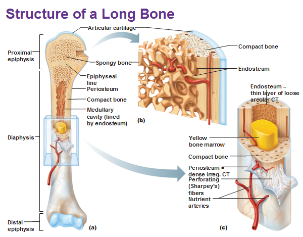 cartilage and bones, Human Body