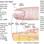 structure of nail, lunule, eponychium, root of nail, proximal nail fold, lateral nail fold, nail bed
