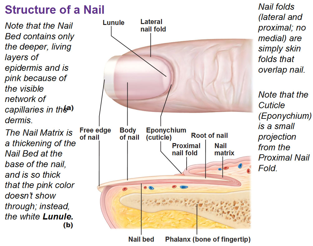 structure of nail  lunule  eponychium  root of nail  proximal nail    Eponychium