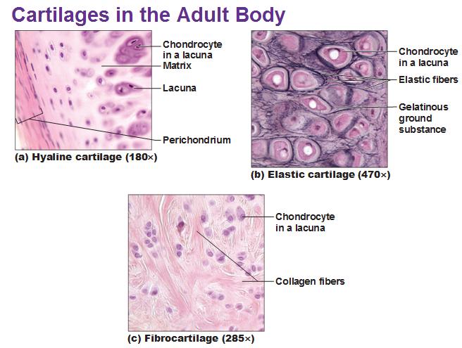 Elastic Cartilage Diagram three types of cartila...