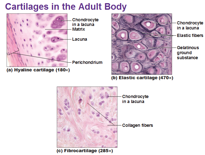 Elastic Tissue Labeled three types of cartila...