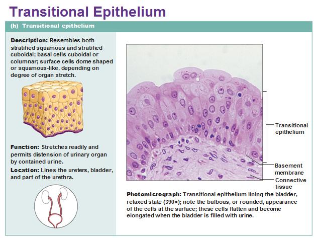 Eight types of epithelial tissue