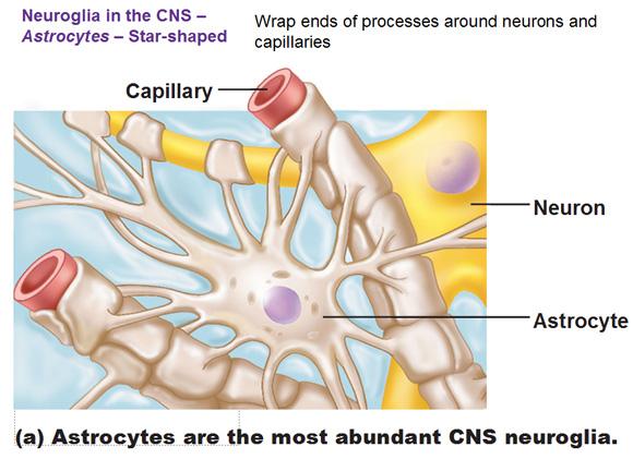 system neurons Nervous