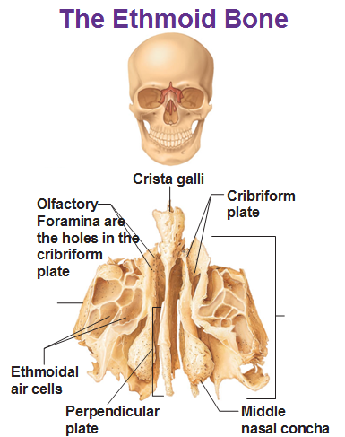 Ethmoid bone anatomy