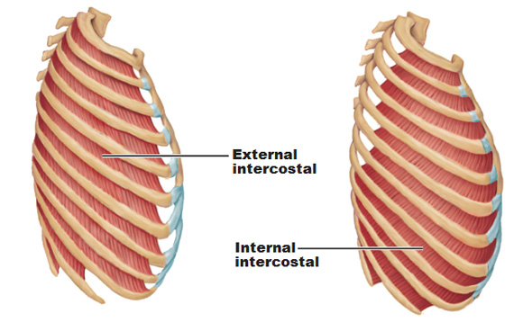 Muscles of the thorax for breathing and the pelvic floor ...