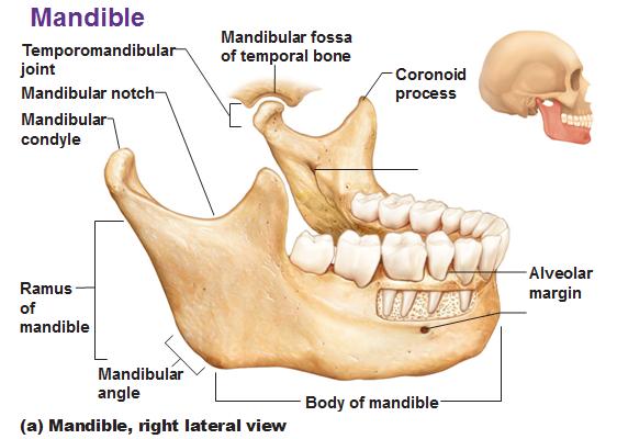 mandible lateral view showing coronoid process alveolar margin ramus body condyle and tmj