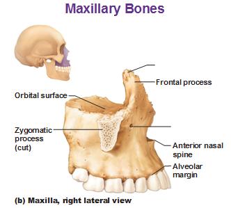 Maxillary Bone Geography of the Skull
