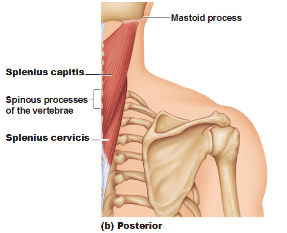 Muscles Of The Neck And Vertebral Column