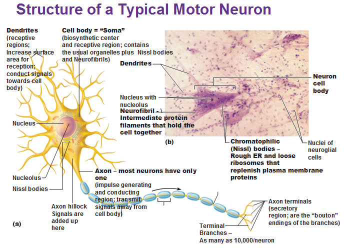 Neurons in the nervous system for What is motor neuron