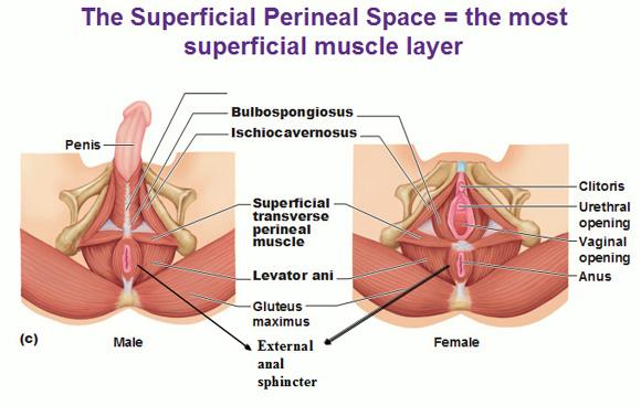 superficial perineal space, bulbospongiosus ...