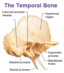 External Auditory Meatus Bone temporal bone showing ...
