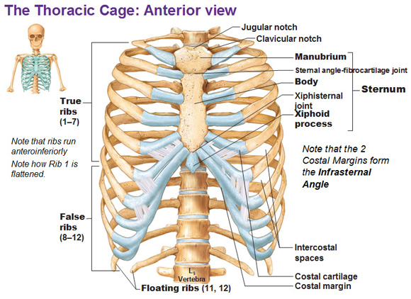 thoracic cage, ribs, fontanelles, Skeleton