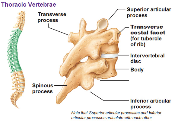 the vertebral column, Human Body