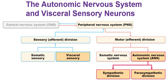 differentiate peripheral and autonomic nervous system