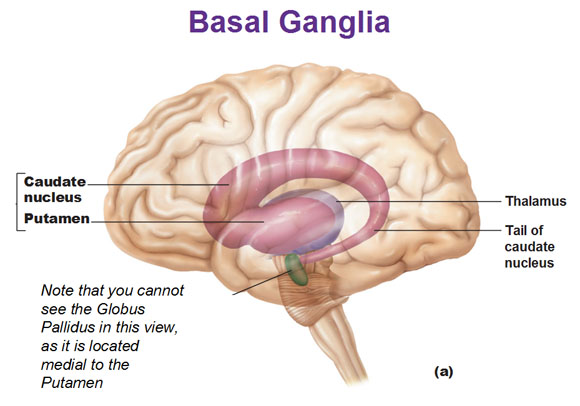 Caudate Nucleus And Fornix Opinions on Bas...