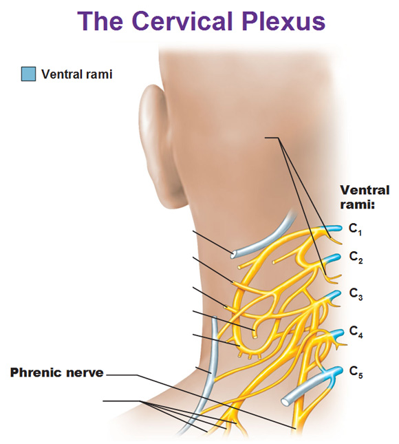 cervical plexus showing phrenic nerve and ventral rami c1 ...