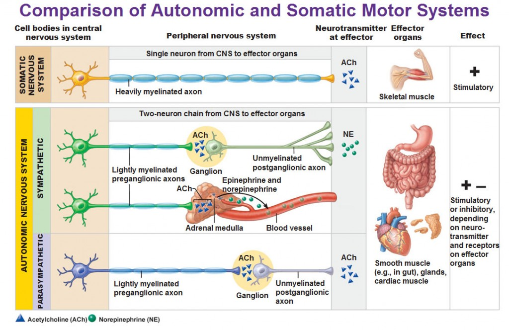The Autonomic Nervous System | 1024 x 664 jpeg 162kB