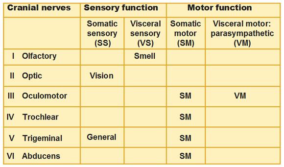 sympathetic cranial nerves
