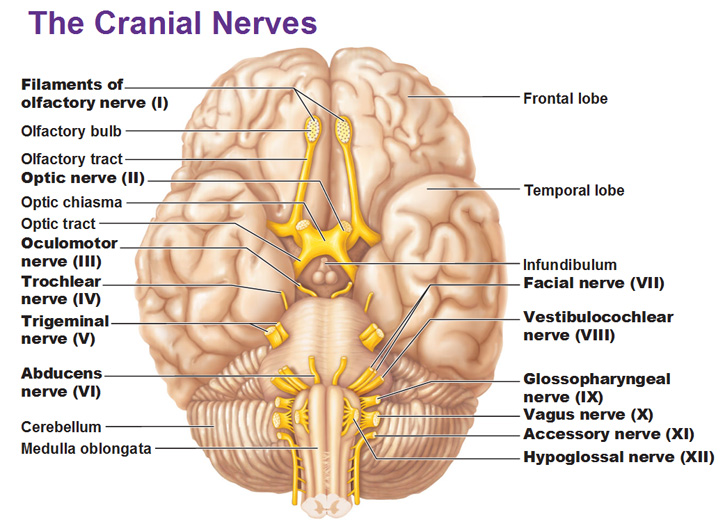 The 12 Cranial Nerves With Images Cranial Nerves Vagus Nerve