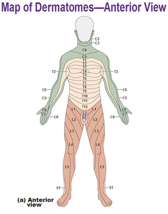 Innervation Of The Skin Dermatomes
