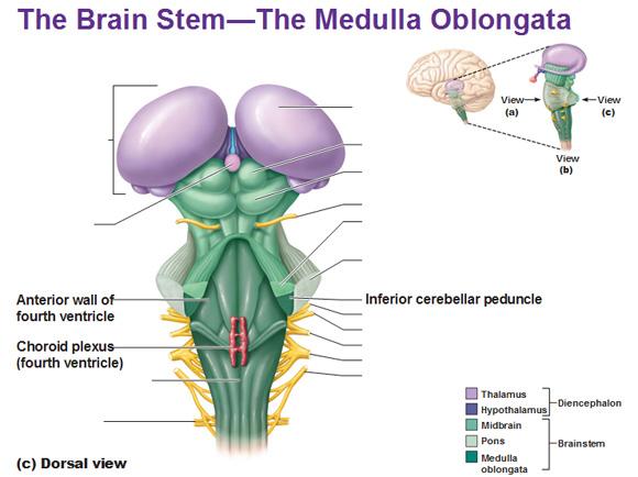 dorsal view of the medulla oblongata choroid plexus fourth ...