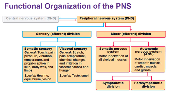 The nervous system by nikki werst on prezi ccuart Choice Image
