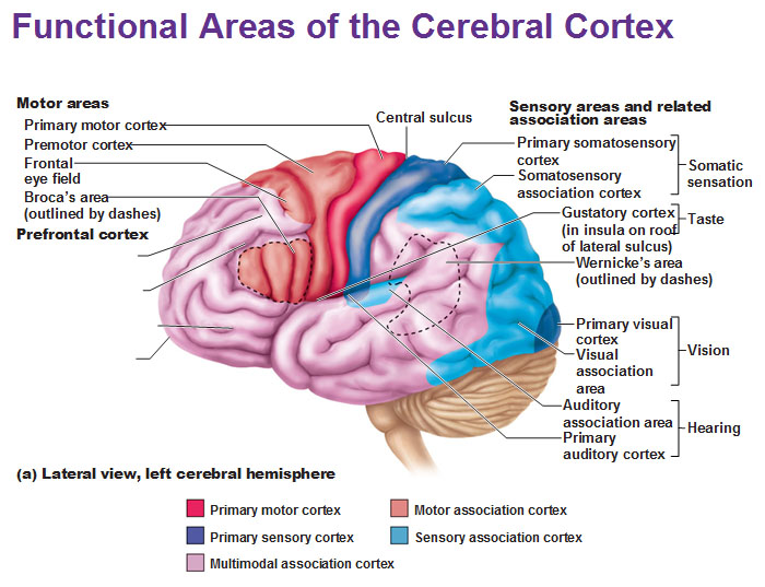 Functional areas of the cerebral cortex primary olfactory cortex ccuart Gallery