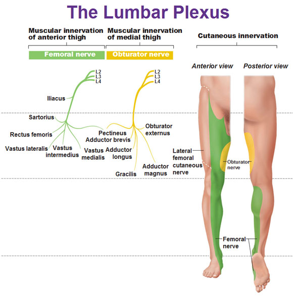 Lumbar plexus muscular innervation and cutaneous innervation