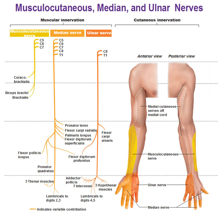 Peripheral Nervous System: Spinal Nerves and Plexuses