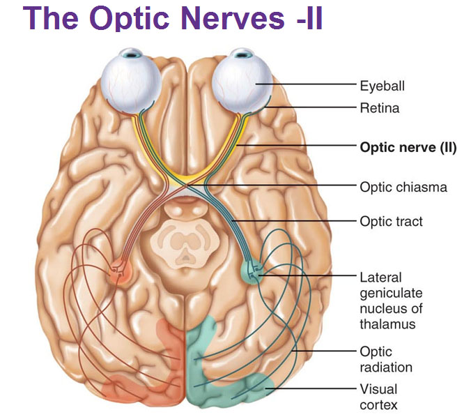 Peripheral Nervous System: Cranial Nerves