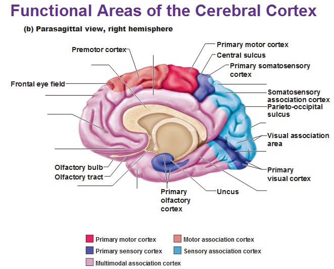 Functional areas of the cerebral cortex the primary somatosensory cortex ccuart Gallery