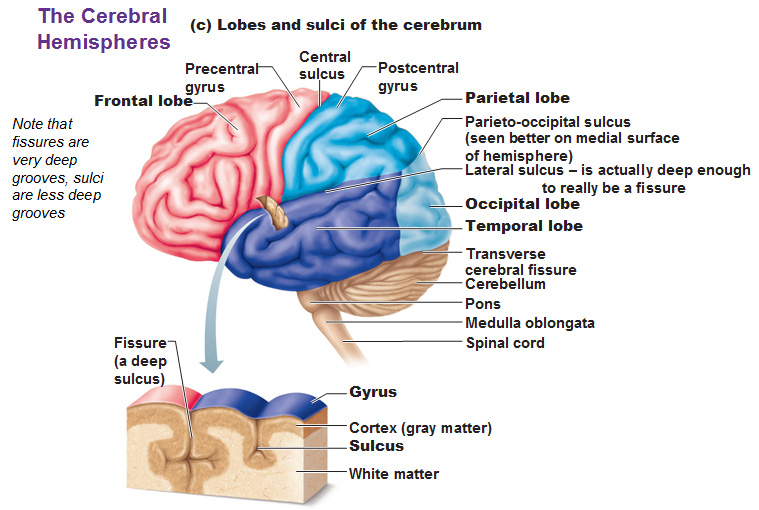 the cerebral hemispheres