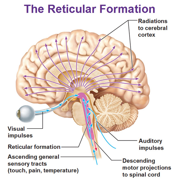 external image reticular-formation-radiation-impulses-motor-projections.jpg?900771