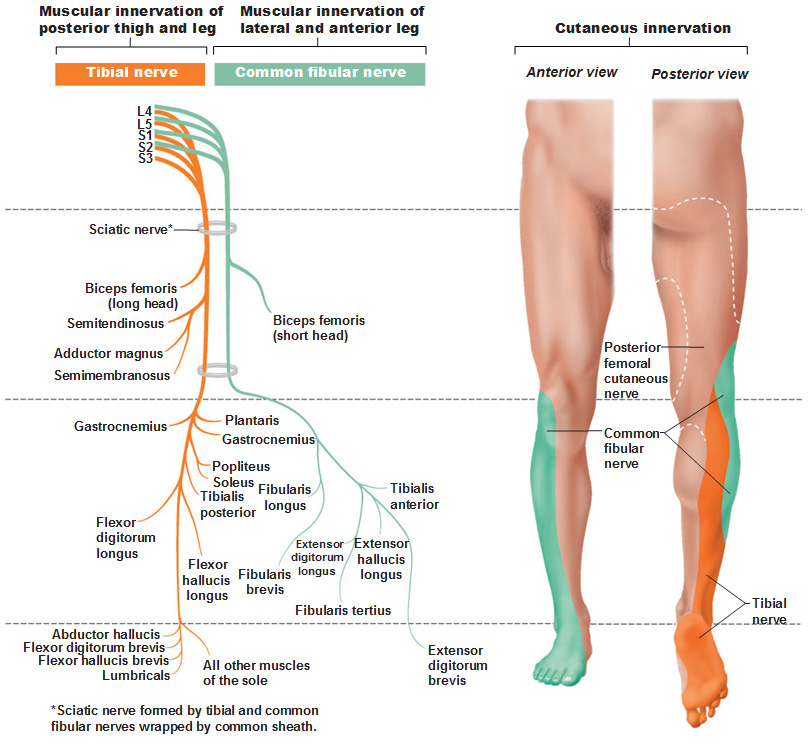 Human Muscular System in addition Pineal40 additionally Integumentary System Organs And Functions together with 3 Major Organs Of The Nervous System besides Chapter 6 Skin And The Integumentary System. on integumentary system