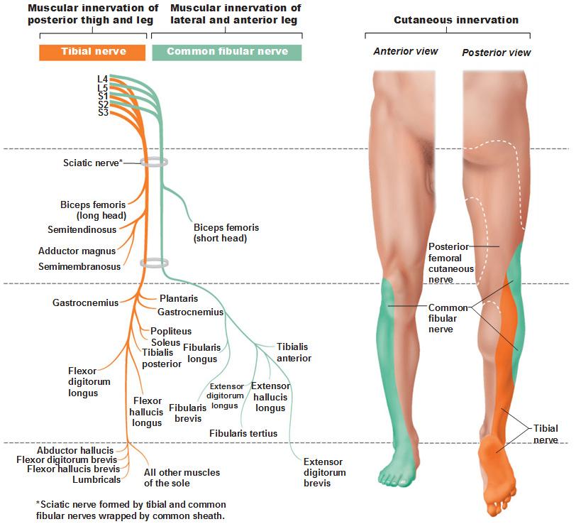sacral-plexus-tibial-nerve-common-fibular-nerve 812×745 pixels, Muscles